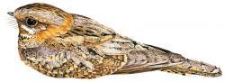 Caprimulgus ruficollis