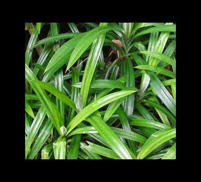 daun pandan