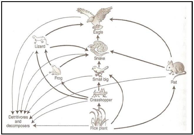 Contoh Rantai Makanan Pada Ekosistem Sawah Pintar Biologi
