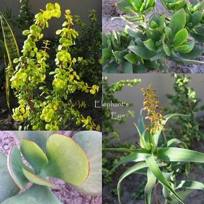 Portulacaria afra, Crassula ovata Cotyledon orbiculata, Aloe ciliaris