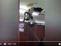 Ular Piton Sepanjang 6 Meter Tiba-Tiba Muncul Dari Plafon Restoran, Pelanggan Langsung Kabur, Videonya Bikin Ngeri