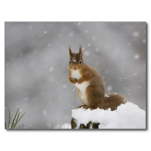 A Red Squirrel on a Wintry, Snowy Day | Photo Portrait Postcard