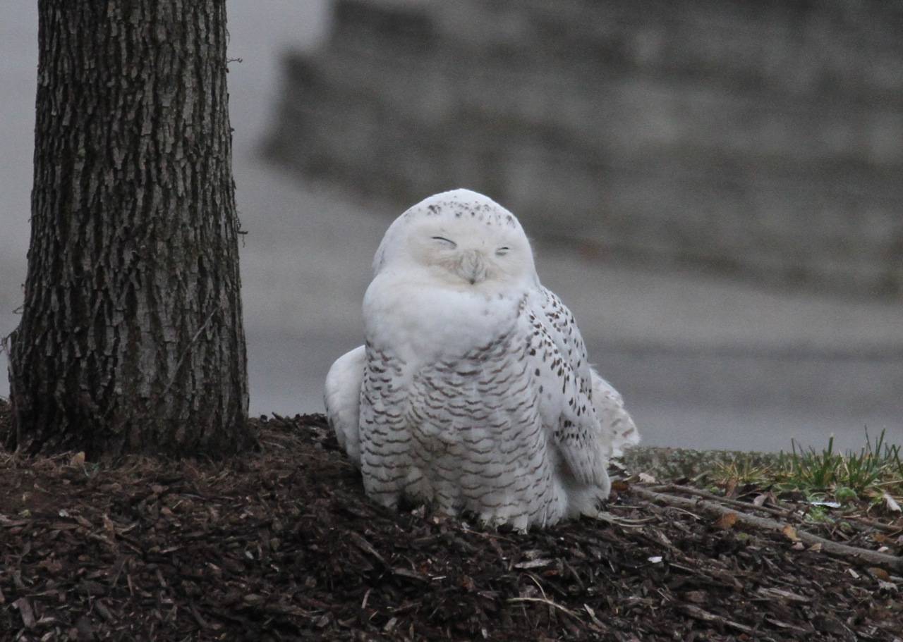 Julie zickefoose on blogspot parkersburgs snowy owl i dont begrudge anyone much less sweet children a close look at a snowy owl for all i knew birdwatchers were being born before my eyes biocorpaavc Choice Image
