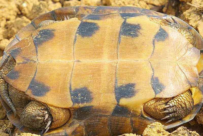turtle's plastron