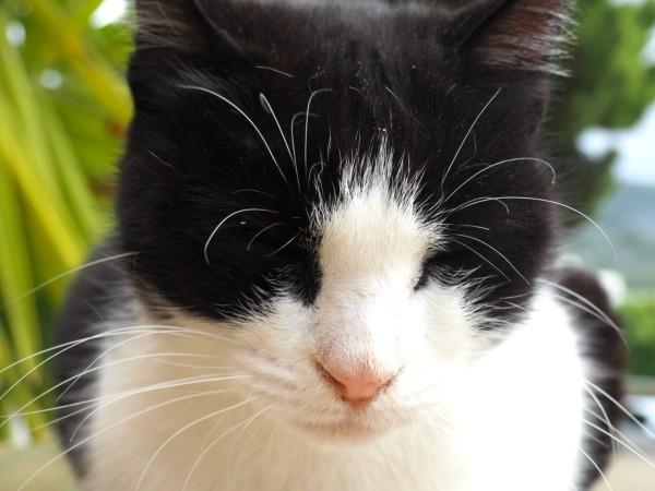 tuxedo cat cute