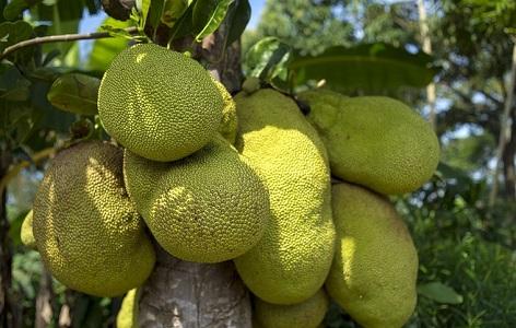 Jak Meyvesi Nedir? Hakkında Bilgi