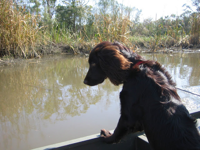 Boykin Spaniels Boat Dog | The Lowcountry Lady