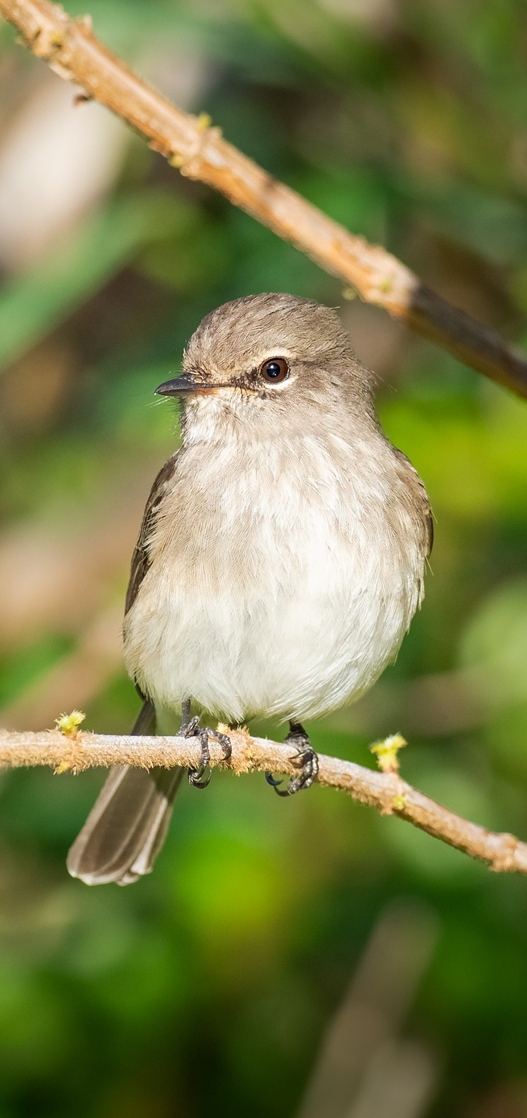 Picture of an African dusky flycatcher.