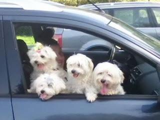 perro malteses de compras