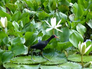 Jacana jacana - Jacana noir
