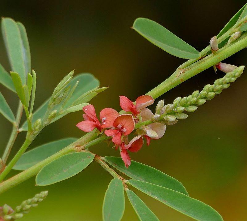 plantas tintóreas cuando el color se importa