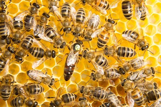 Βασιλοτροφία και Παραγωγή Βασιλικού Πολτού - Για επαγγελματίες και ερασιτέχνες μελισσοκόμους