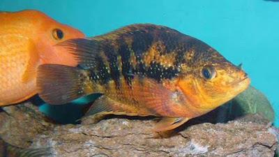 gambar ikan red devil berwarna kuning dengan garis hitam