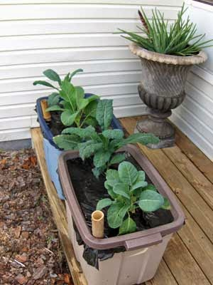Kale and collards in self-watering container garden