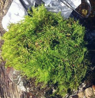 Tanaman Akuarium Christmas Moss
