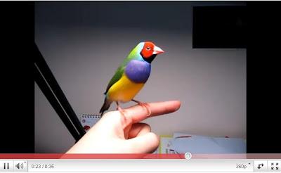 樂活焦點: 七色鳥求偶 搖頭