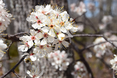 Missouri flowering tree, spring in Missouri, Lake of the Ozarks