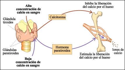 Preguntas sobre metabolismo del paracetamol