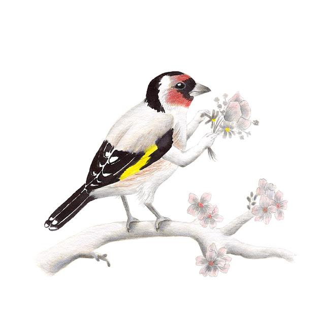 ilustración de pájaros, jilguero, aves de la albufera, carduelis carduelis, ilustración de aves, aves mediterráneas, aves de la península ibérica, aves españolas, Inktober, Inktober 2017,