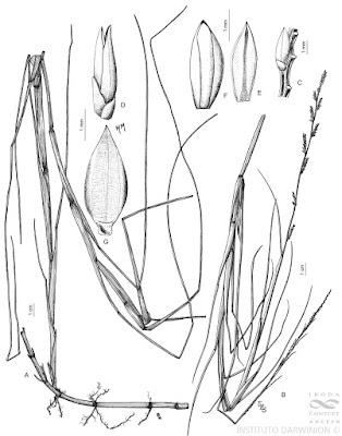 Canutillo (Setaria germinata)