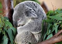 коала во сне фото