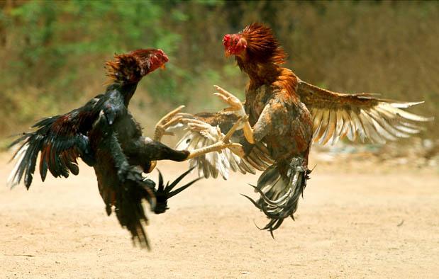 Jamu Ayam Bangkok Aduan