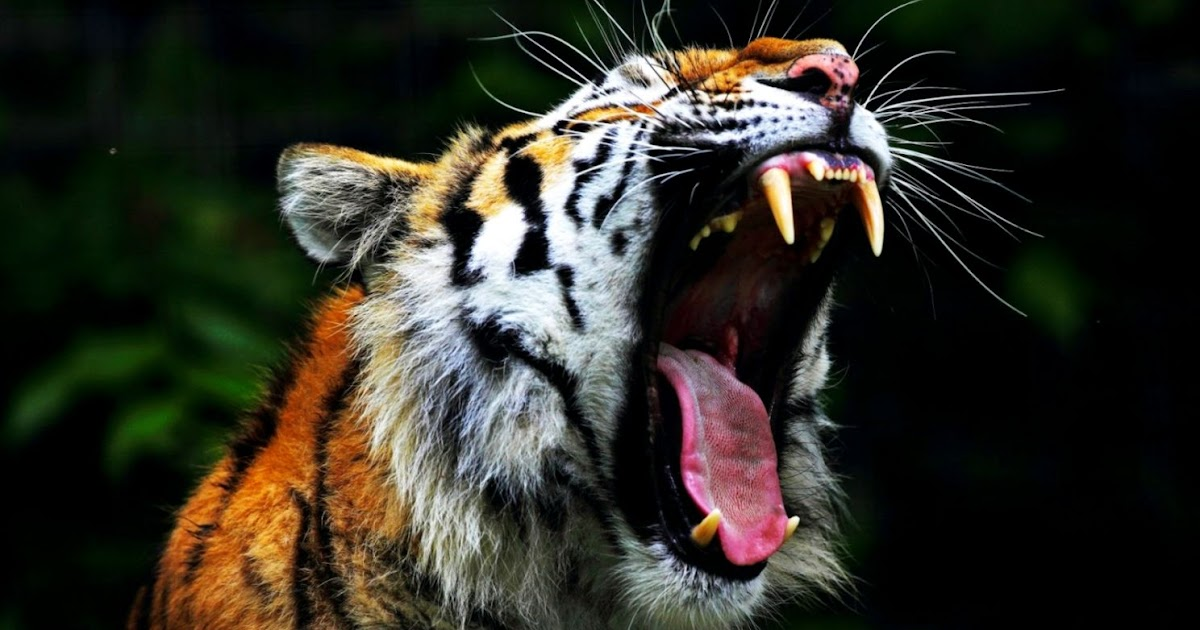 Angry Tiger Wallpaper Hd Like Wallpapers