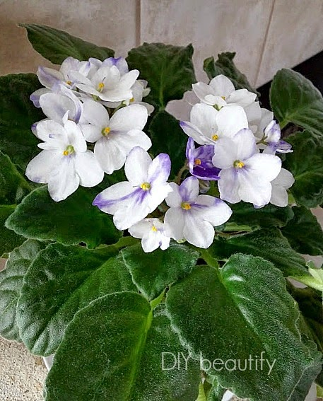 blooming African violets