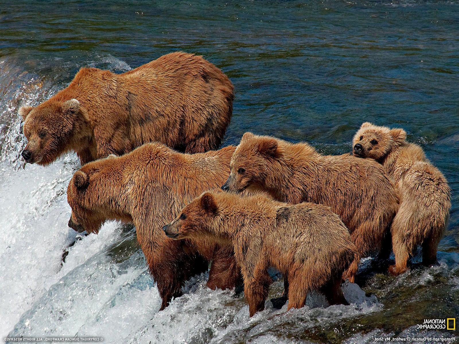 bears waterfall National Geographic baby animals