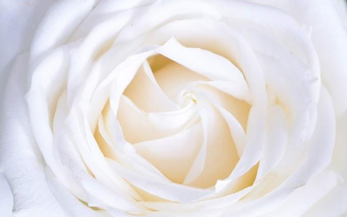 Flor Rosa Branca