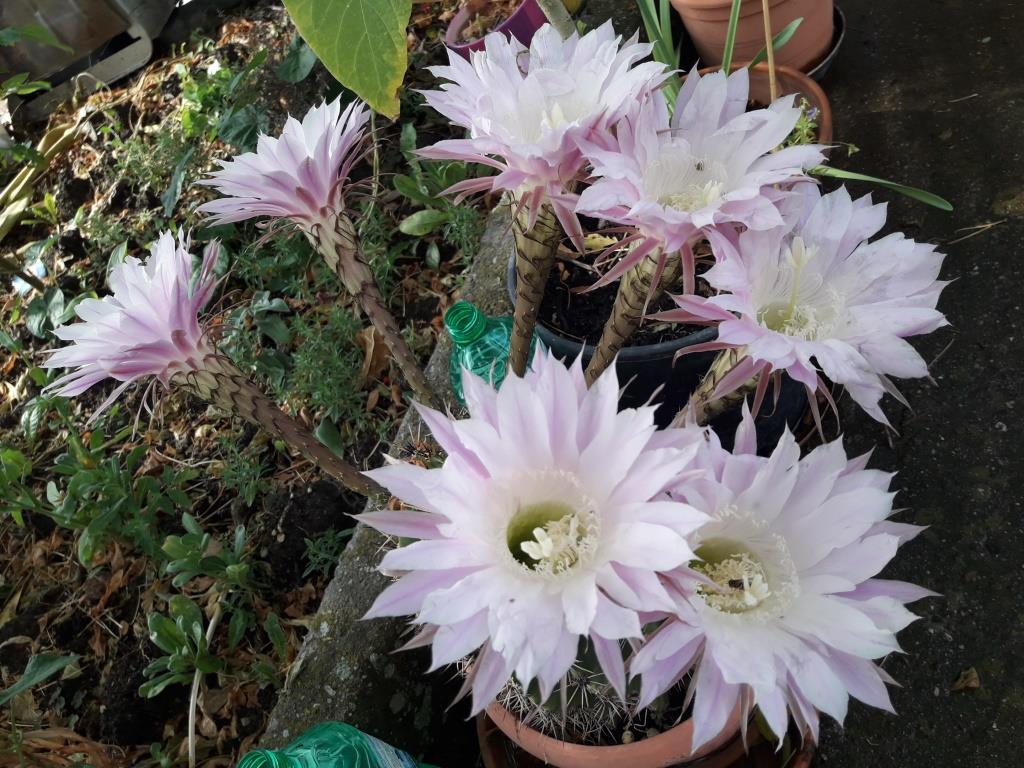 Alter ego fiori di pianta grassa for Piante e fiori