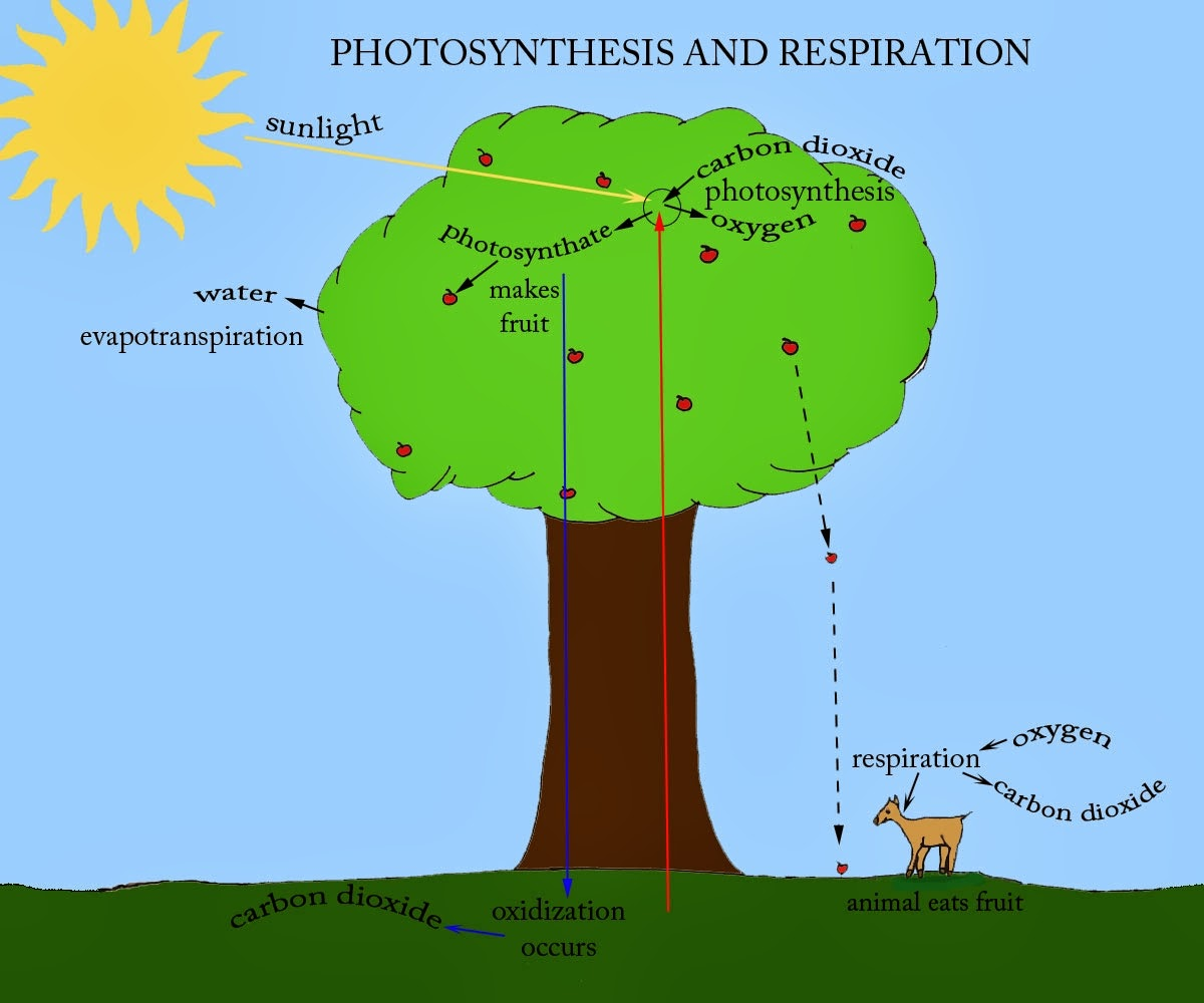 plants cellular respiration and photosynthesis relationship