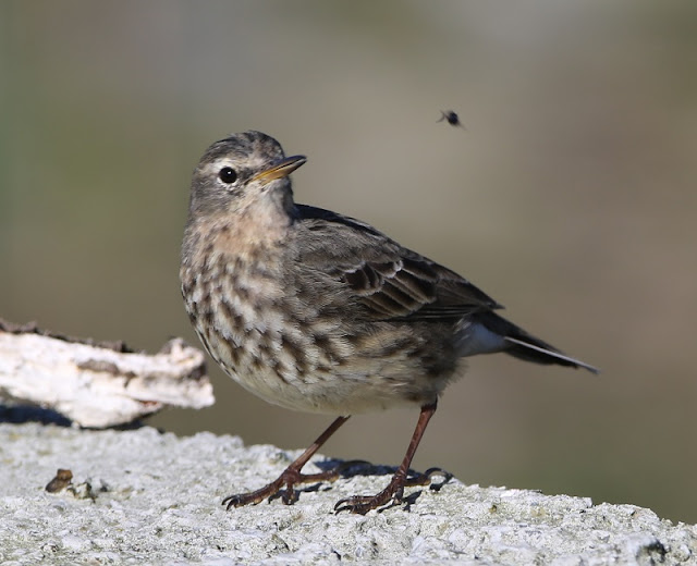 Scandinavian Rock Pipits