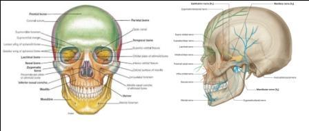 Tulang Kerangka Manusia Tengkorak Tubuh dan Gerak