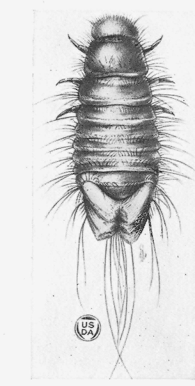 Bug Eric: Carpet Beetles, Genus Anthrenus