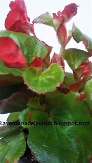 begonia-semperflorens-plant