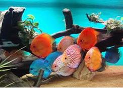 Profil Ikan Hias Diskus warna ikan