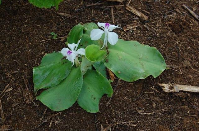Cây Địa Liền - Kaempferia galanga - Nguyên liệu làm thuốc Chữa Bệnh Tiêu Hóa