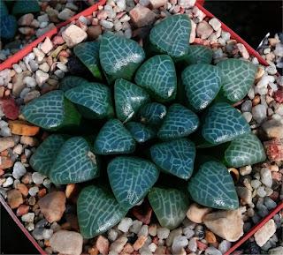 Haworthia bayeri - M070620 (Dr Hayashi)