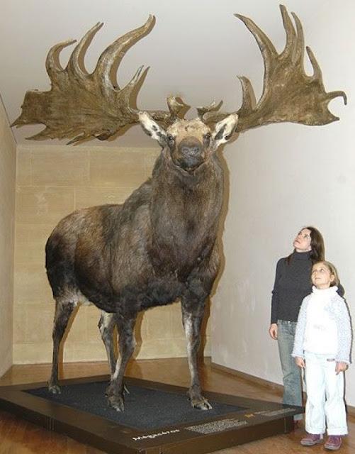 Irish Deer - Rusa dengan ukuran tubuh yang fantastis