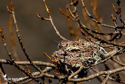 Las aves esconden cuidadosamente sus nidos, pero en otoño, los árboles que dejan caer sus hojas develan las secretas posiciones de estas pequeñas obras de arquitectura animal. Este nido está hecho de ramas y líquenes y colocado sobre las ramas de este fresno.
