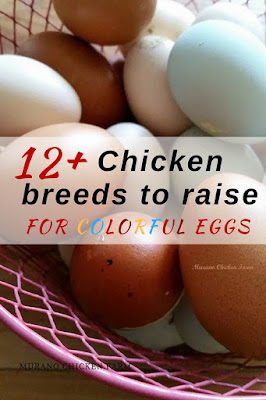 Colorful chicken eggs come from these breeds of hen.