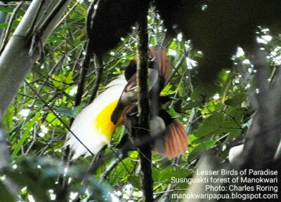 Male and Female Lesser Birds of Paradise in Susnguakti Forest of Manokwari, Indonesia.