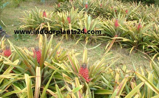 Ananas bracteatus plant photo