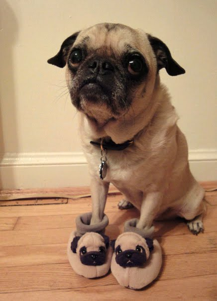 La Foto De Hoy Picture Of Day Con Pantuflas Pug Slepers