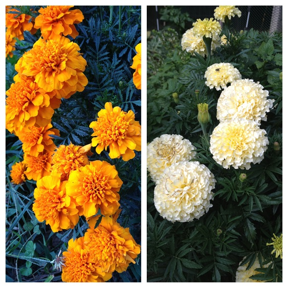 Marigolds Grow Your Own Pest Spray Try This Feathers In The