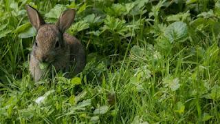 Jenis Rumput Pakan Kelinci yang Bagus