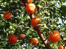 Como sembrar Mandarina