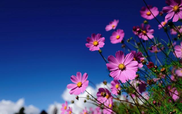 Bureaublad achtergrond met roze bloemen en een strak blauwe lucht