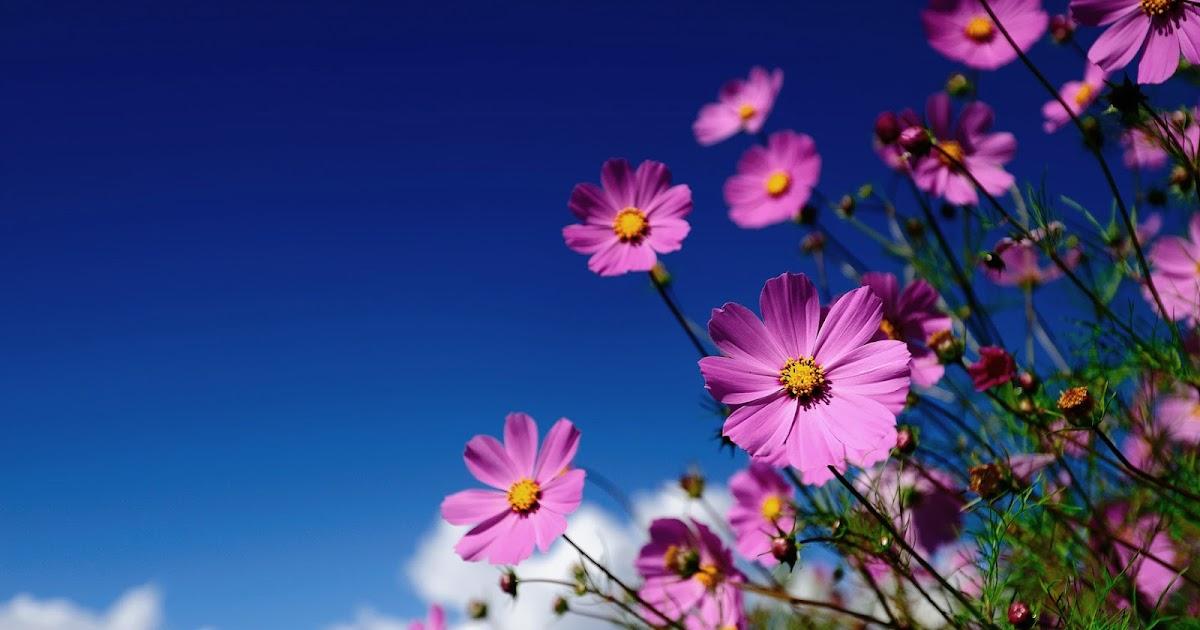 Achtergrond met roze bloemen  Mooie Leuke Achtergronden